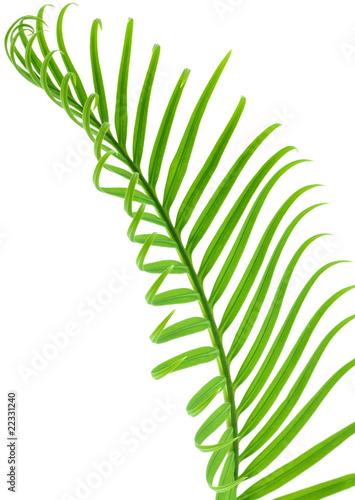 feuille de palmier sagoutier fond blanc photo libre de droits sur la banque d 39 images fotolia. Black Bedroom Furniture Sets. Home Design Ideas