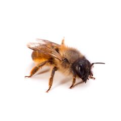 Bienen-Makro