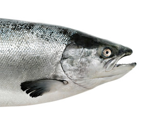 Salmon fish close up isolated
