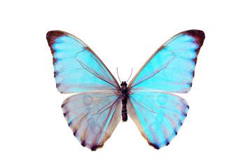 Butterfly - Morpho Aurora