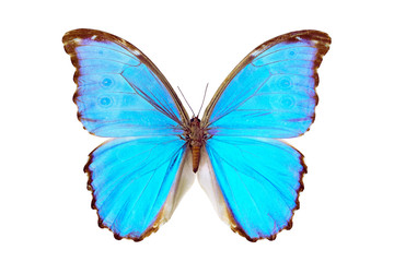 Butterfly - Morpho Didius