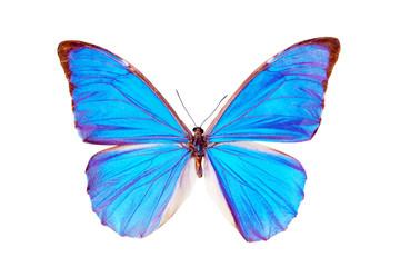 Butterfly - Morpho Anaxibia