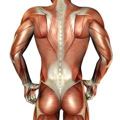 Wall Mural - Muskelaufbau männlicher Rücken