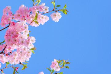 Kirschblüte rosa - cherry blossom 21