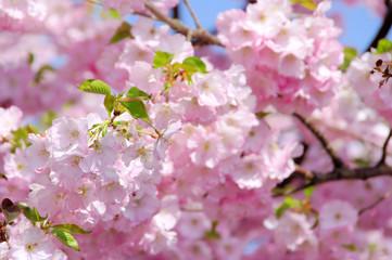 Kirschblüte rosa - cherry blossom 23