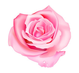 Vector illustration of pink rose isolated on white background
