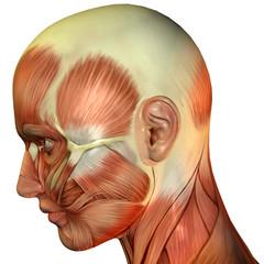 Kopf Seitenansicht Muskelverlauf