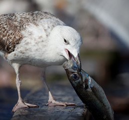 manger goéland poisson sardine port bretagne bec dévorer nature