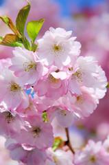 Kirschblüte rosa - cherry blossom 30