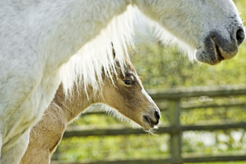 beautiful newborn foal with it`s mother.