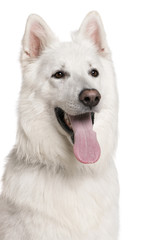 Close-up of Swiss Shepherd dog with tongue out, 3 years, in fron