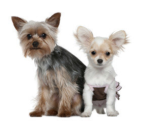 Chihuahua puppy and Yorkshire terrier, 4 months and 1 year old