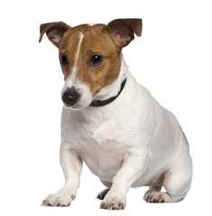 Jack Russell terrier, 3 years old