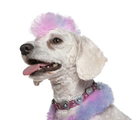 Groomed poodle with pink and purple fur and mohawk, 1 year old