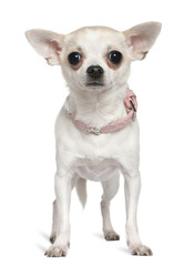 Chihuahua in pink collar, 1 and a half years old