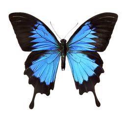 Insekt, Falter - blauer Schmetterling
