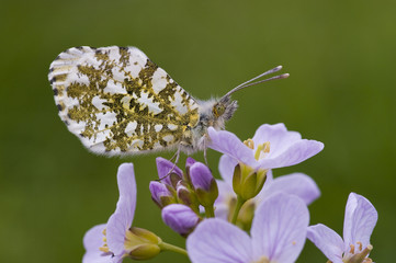 Orange Tip butterfly on Cuckoo flower