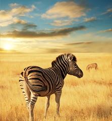 Zebra - fototapety na wymiar