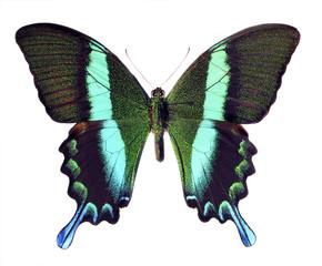 Schmetterling - Falter freigestellt blau grün schwarz