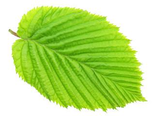 Fresh spring leaf isolated on white