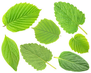 Collection of fresh spring leaves isolated on white