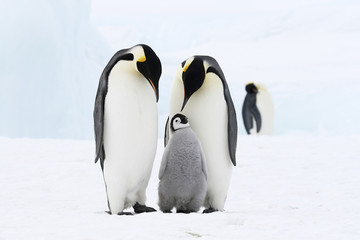 Autocollant pour porte Pingouin Emperor penguins on the sea ice in the Weddell Sea, Antarctica