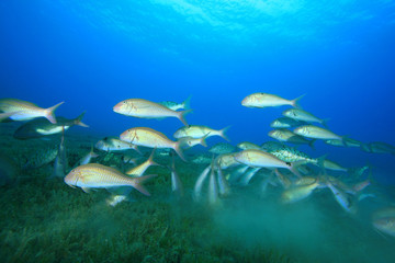 Shoal of Goatfish feeding over seagrass
