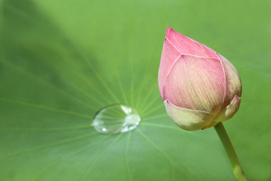 closed lotur blossom