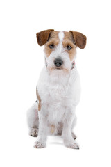 jack russel terrier-long haired isolated on a white background
