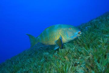 Bicolor Parrotfish (Cetoscarus bicolor)