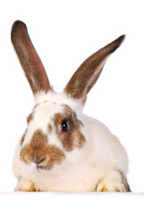One live rabbit on the white