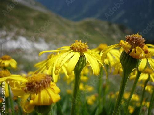 Yellow High Altitude Mountain Flowers Stock Photo And Royalty Free