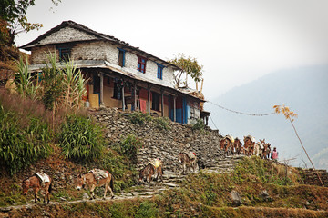 Mules crossing the mountains of Nepal