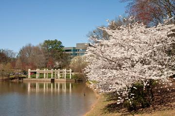 Cherry Tree Blooming Beside Office Lake