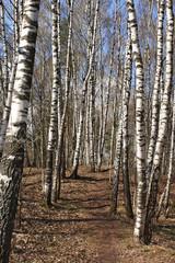Spoed Foto op Canvas Berkbosje Birch wood in the early spring after rain