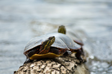 Turtle watching from log
