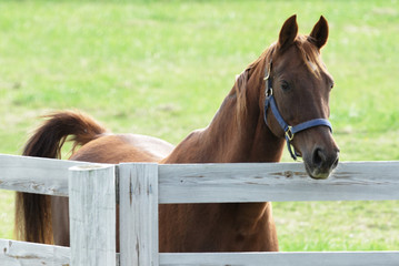 Brown Horse Over the Fence