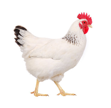 white hen profile, isolated on white