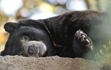 male adult american black bear laying down, california