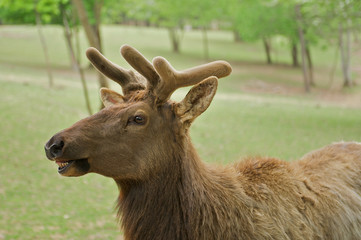 Young elk, or wapiti (Cervus canadensis) with funny expression