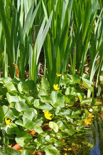 gelb bl hende wasserpflanzen am teich mit frosch. Black Bedroom Furniture Sets. Home Design Ideas