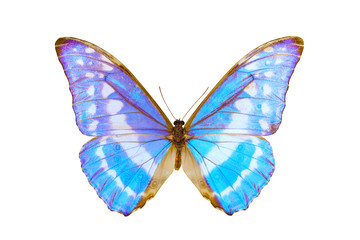 Butterfly, Morpho Cypris, wingspan 113mm