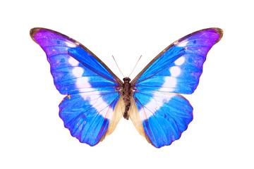 Butterfly, Morpho Rhetenor Helena, wingspan 140mm