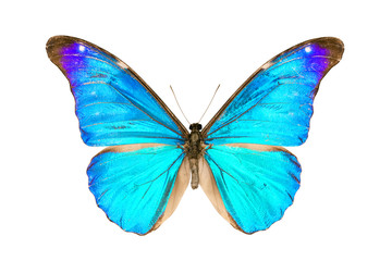Butterfly, Morpho Rhetenor Eusebes, wingspan 116mm