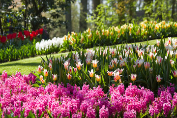 Pink hyacinths and colorful tulips
