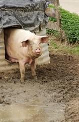 Little Pig Farm
