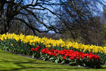 Red tulips and yellow daffodils in spring
