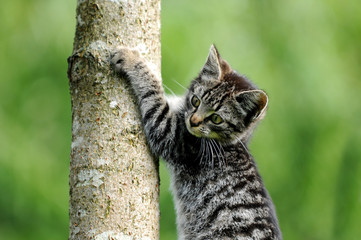 Junge Katze klettert