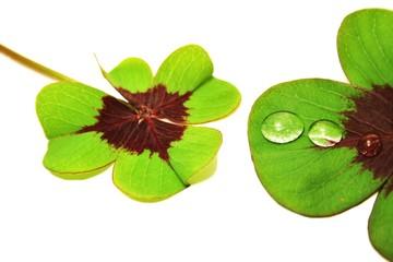 Kleeblätter mit Wassertropfen