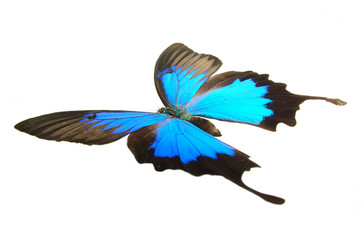 Papilio ulysses flying